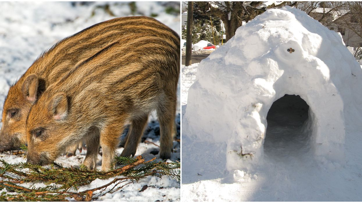 """Canadian Wild Pigs Are Building """"Pigloos"""" To Survive Through The Winter"""