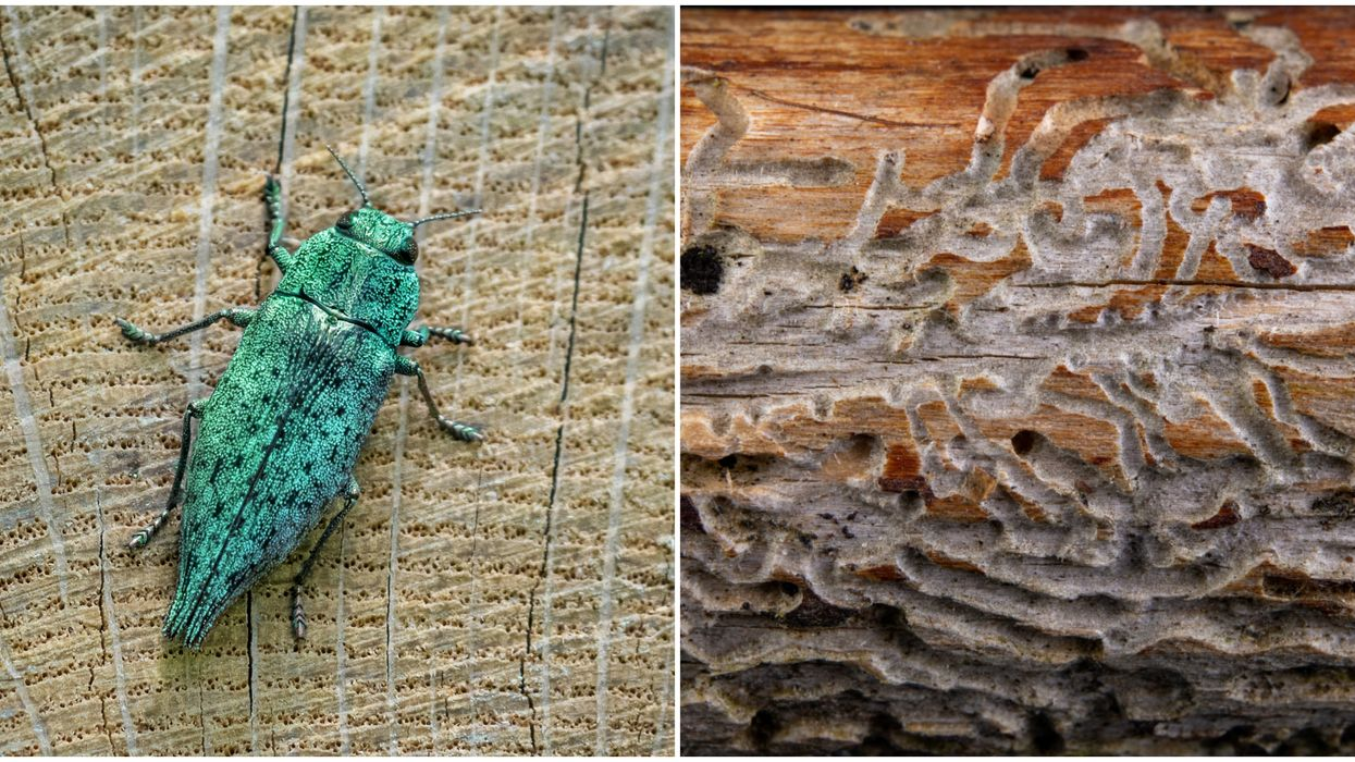 These Metallic Green Bugs Are Invading 7 North Carolina Counties Right Now