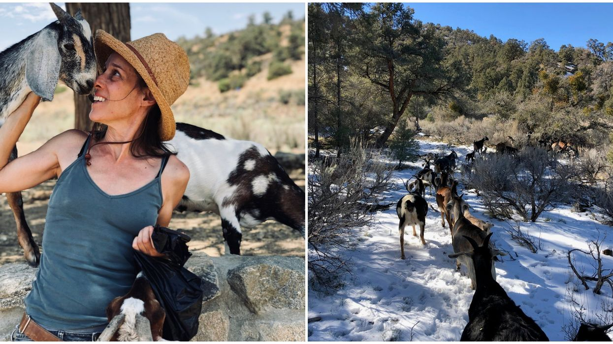 Hike With Goats In California For Only $45 In A Private Foreset