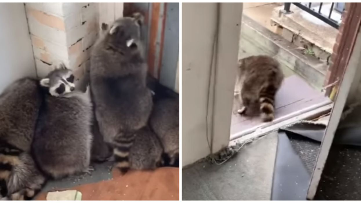 Toronto Raccoons Had To Be Removed From A Home After Breaking In (VIDEO)