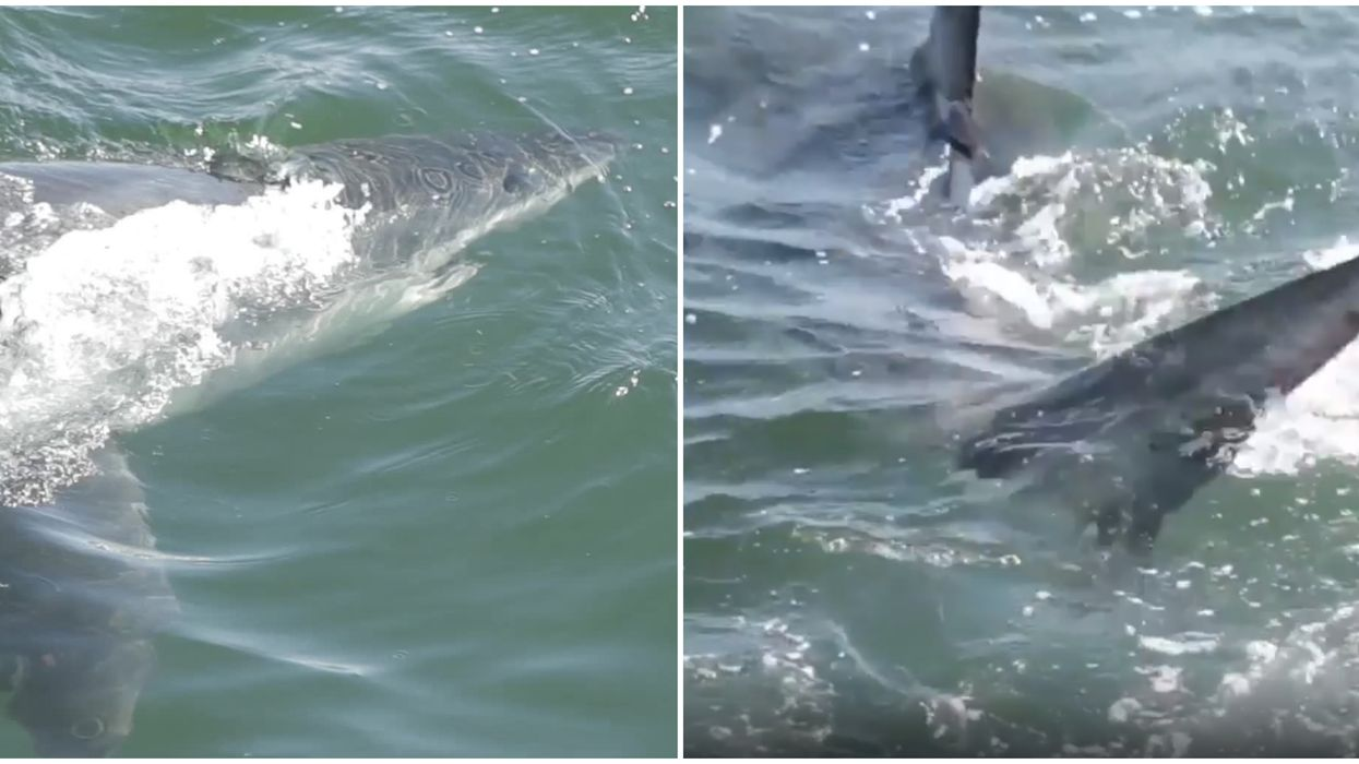 Massive Shark Captured On Video In Florida At Biscayne National Park Near Miami