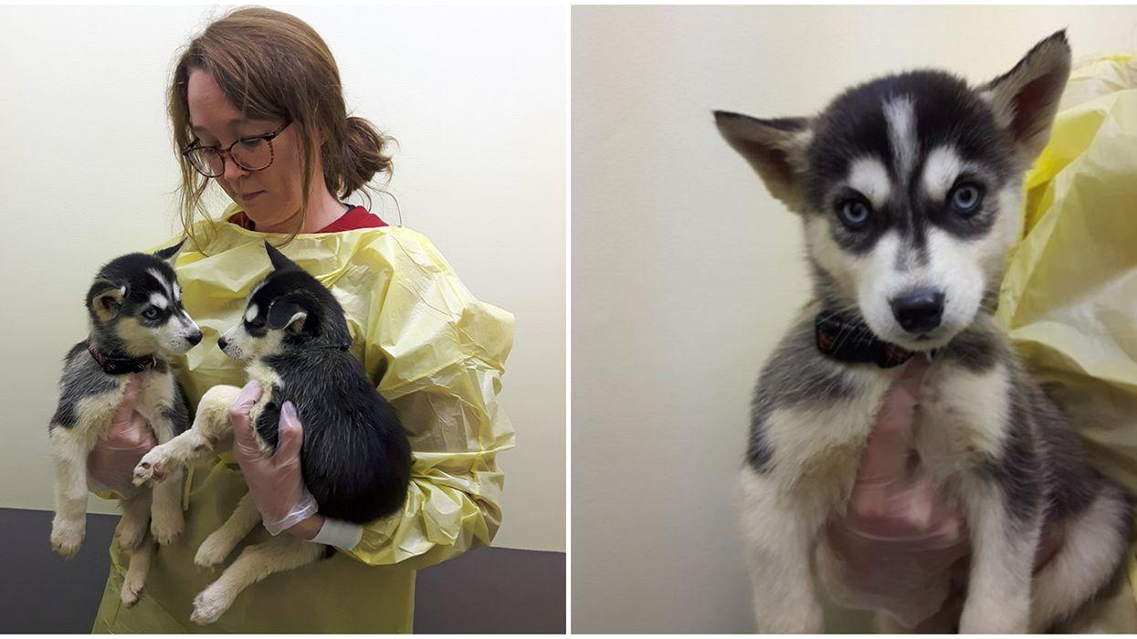 B.C. SPCA Has 19 Siberian Huskies That You Can Help Take Care Of
