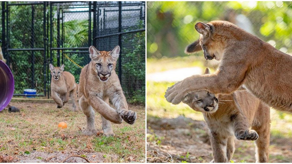 You Can Watch Rare Florida Panther Kittens Play At ZooTampa
