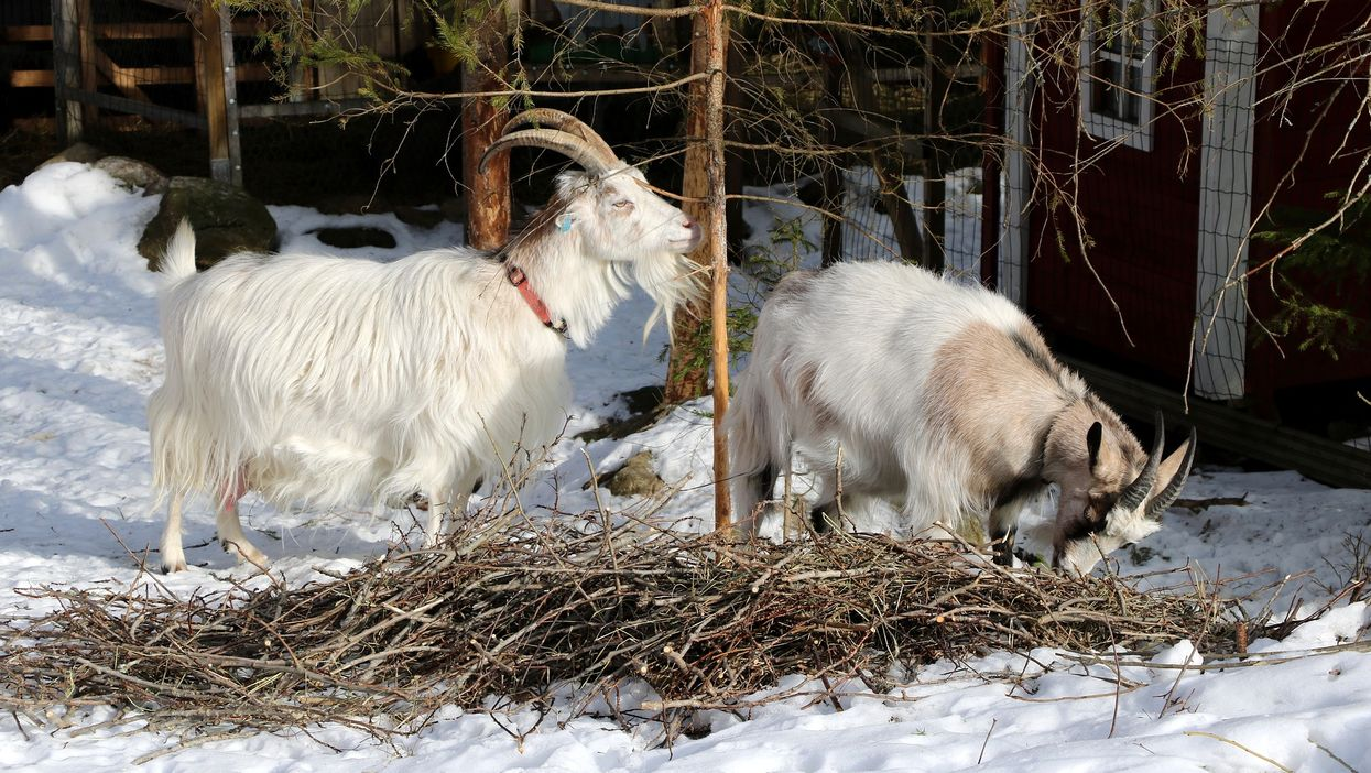 Goat Farm In Winnipeg Will Give Your Christmas Trees To Goats For Them To Eat