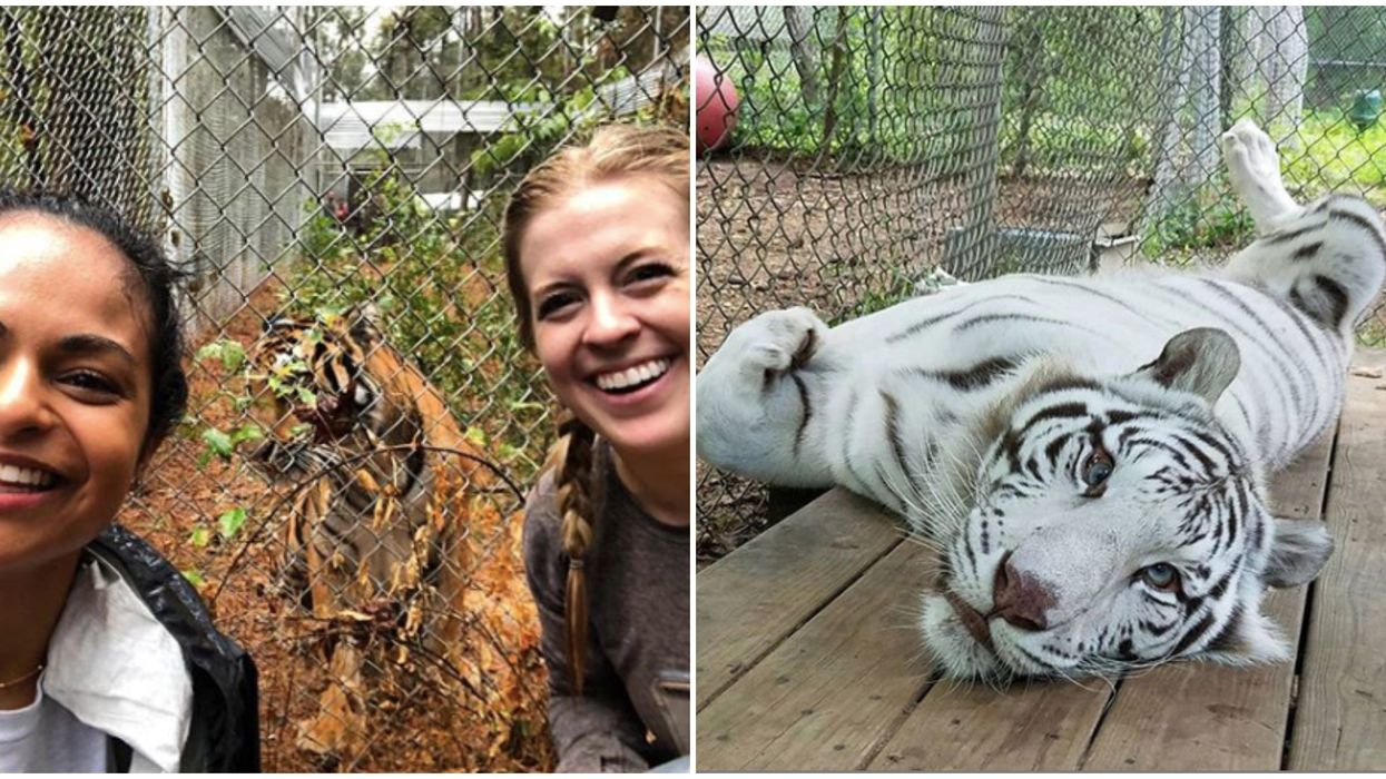 You Can Get Up Close To Majestic Tigers At This Sanctuary In North Carolina