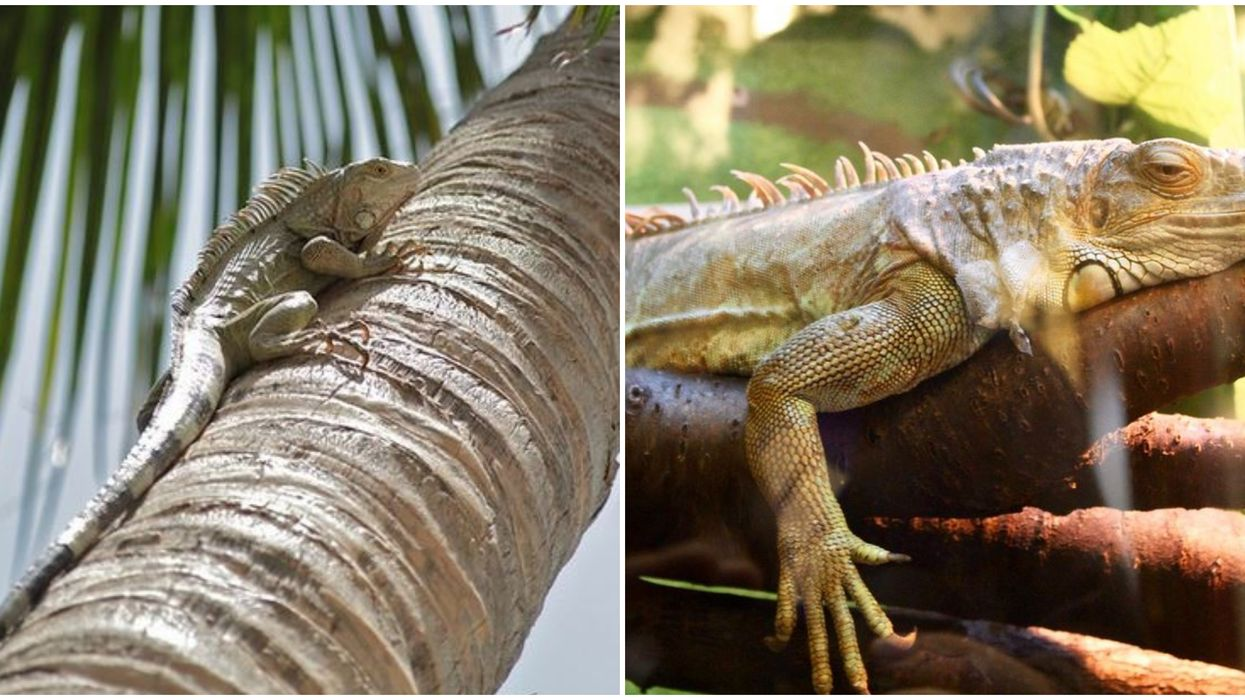 Iguanas Are Falling Out Of Florida Trees Due To Freezing Temperatures