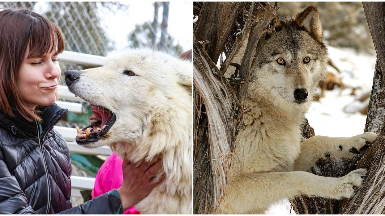 A Wolf Sanctuary Near Arizona Lets You Get Up Close With Wolves