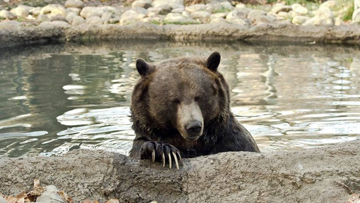Calgary Zoo's Grizzly Bear Thought Winter Was Over Because Calgary Is So Warm (PHOTO)