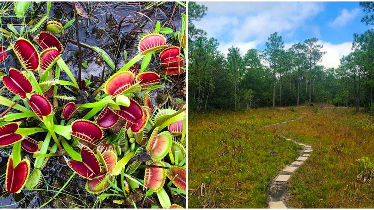 Botanical Garden In North Carolina Has Rare Venus Flytraps
