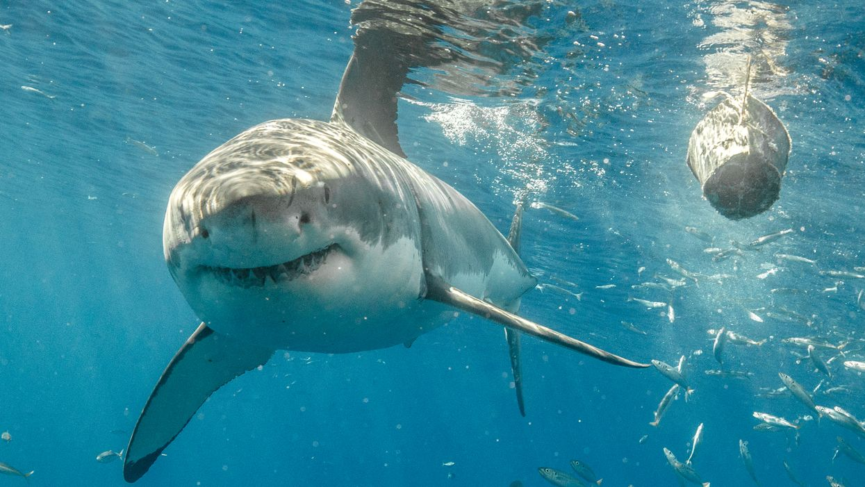 Great White Sharks Are Swarming Florida Coastlines Right Now