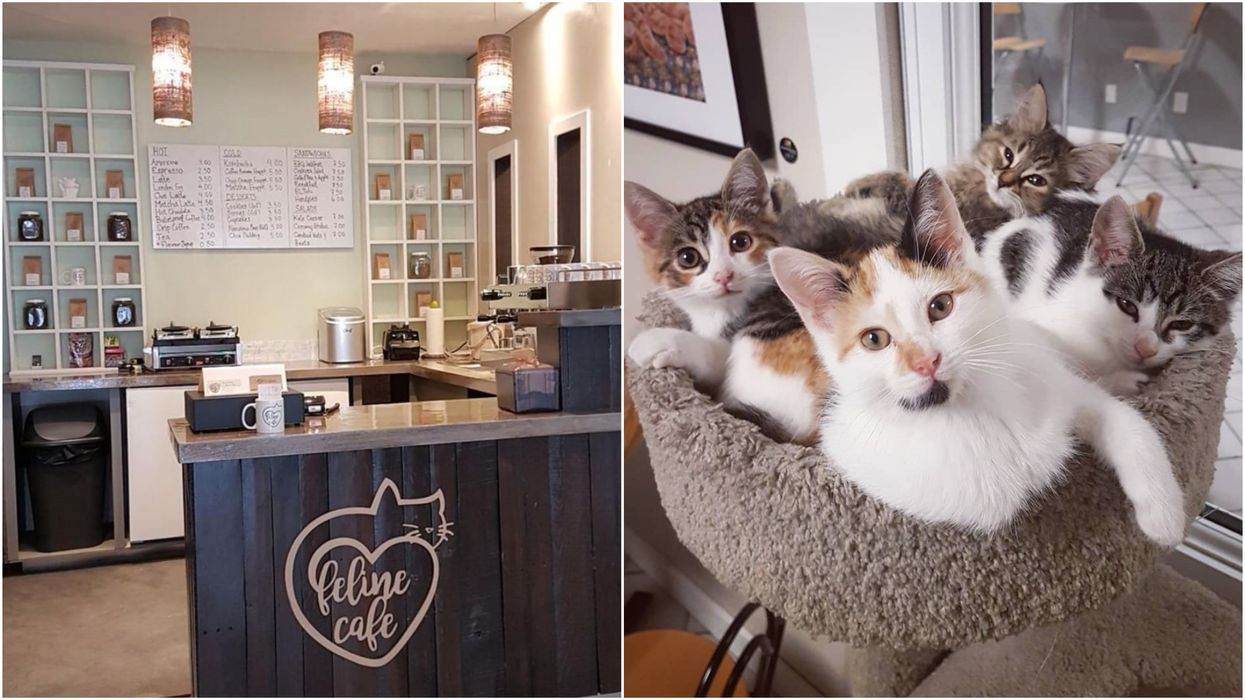 This Ottawa Cafe Is Full Of Cats & You Can Even Take One Home With Your Coffee