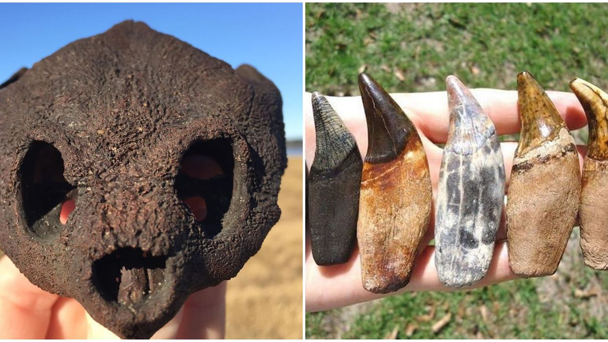 Florida Festival Tampa Bay Fossil Fest Will Have Rare Fossils Shark Teeth And Gemstones