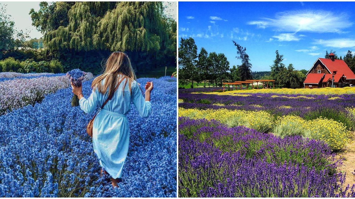 This Sequim Lavender Farm In Washington Lets You Make Your Own U Pick Bouquet For $5