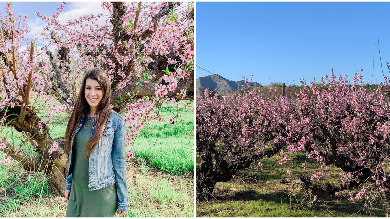 Peach Blossom Festival In Arizona Lets You Celebrate The Pink Blooms This Month