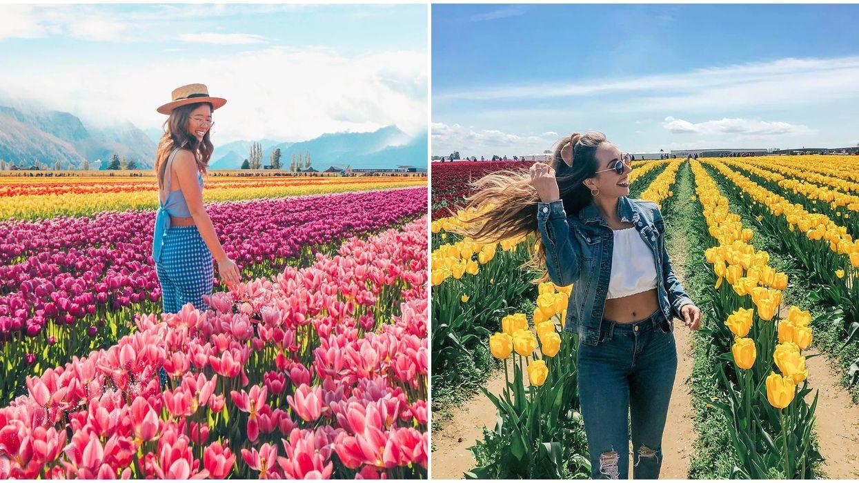 Tulip Fields Near Vancouver: Breathtaking Blooms You've Never Heard Of