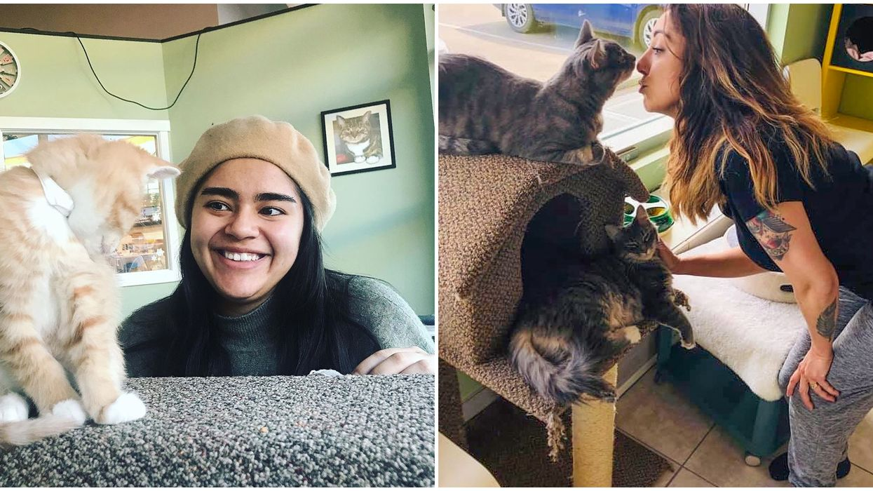 Calgary Cat Cafe Where You Can Eat Purrrfect Waffles & Snuggle Cats Is So Sweet