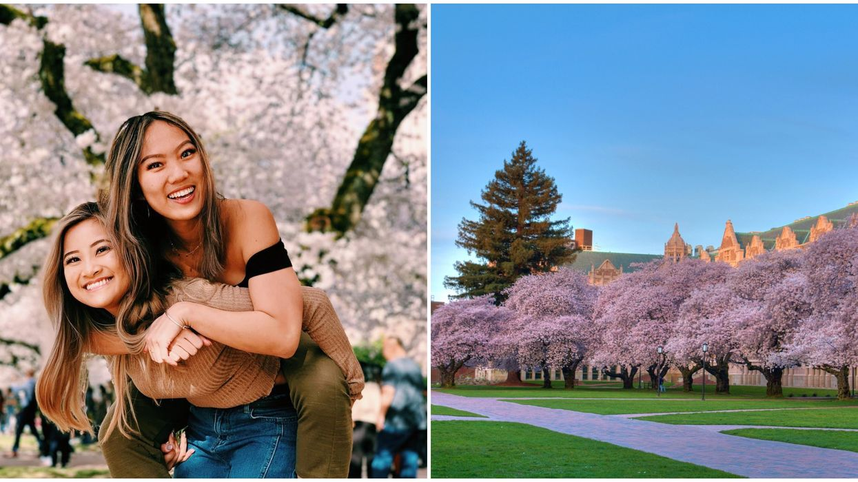 Cherry Blossoms In Seattle Can Be Seen On University Of Washington's Live Stream