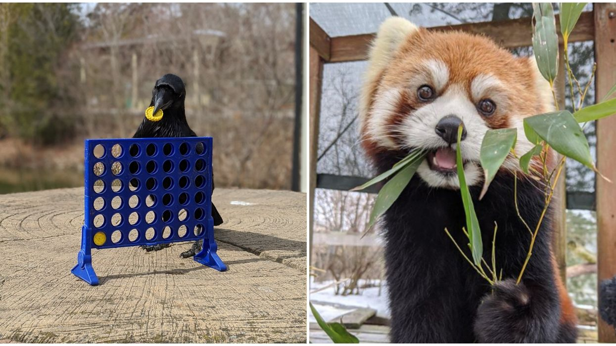 Toronto Zoo Animals Are Chilling Out And Playing Connect 4 While The Place Is Shut Down