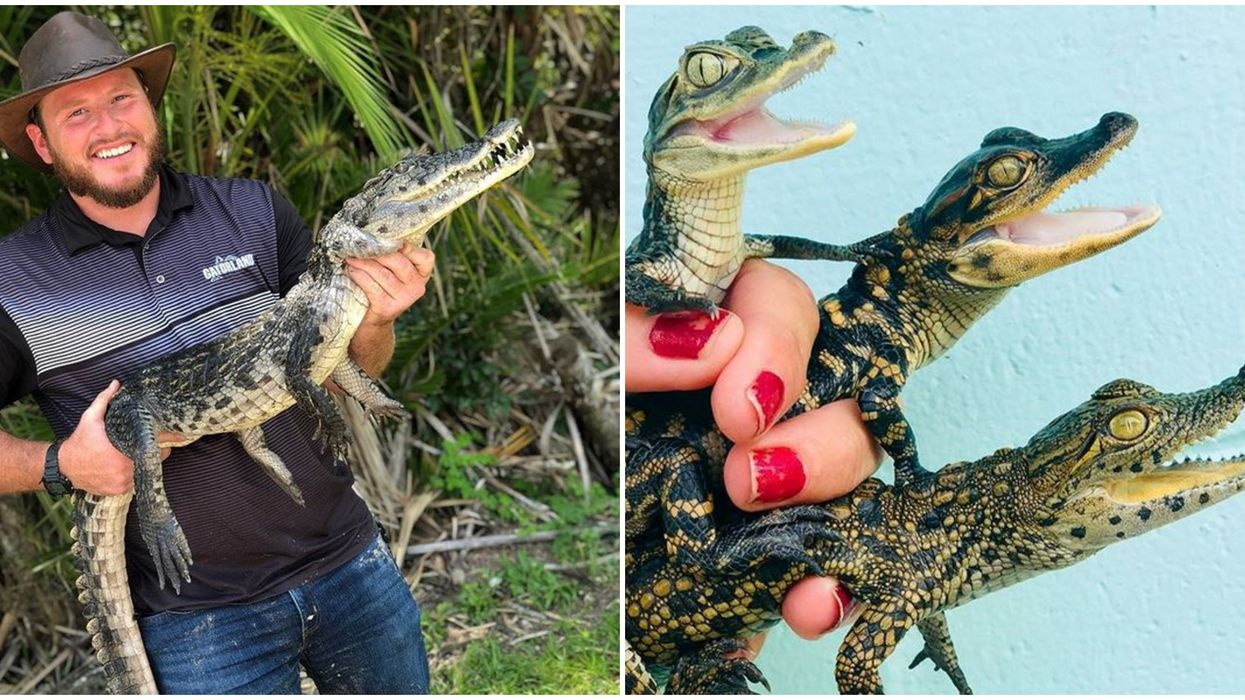 Gatorland Facebook Live Show School Of Crocs Lets You Learn About Gators From Home