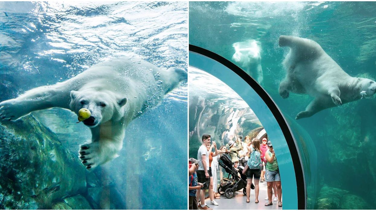 Watch Polar Bears Live At This Canadian Zoo Next Month From Your Sofa