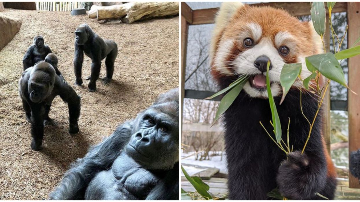 Toronto Zoo's Live Streams Of Penguin Parties & Gorillas Will Make Your Day