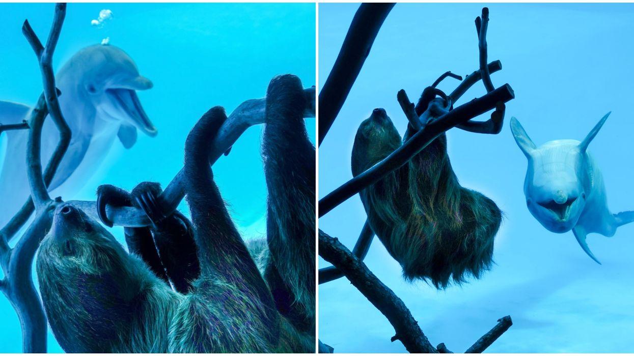 An Aquarium Near San Antonio Introduced Their Sloth To Two Dolphins