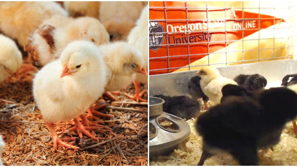 Baby Chicks Are Hatching On An Oregon Live Cam & You Can Watch Them Take Their First Steps