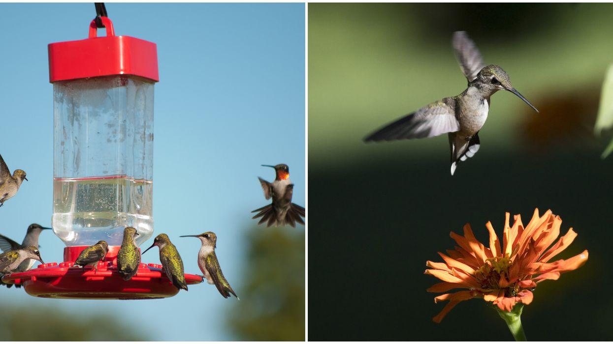 Hummingbird Season In Florida Already Seeing Flocks Fluttering About In Spring 2020