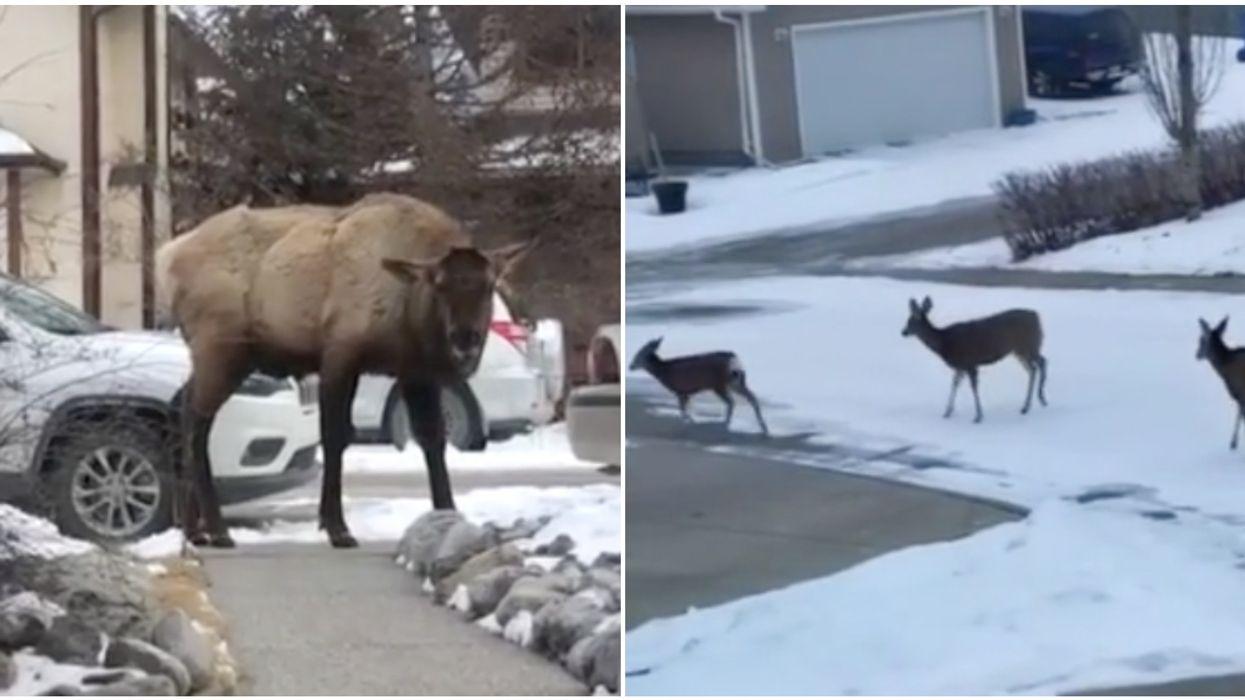 Herd Of Deer In Calgary Was Spotted In A Residential Neighbourhood (VIDEO)