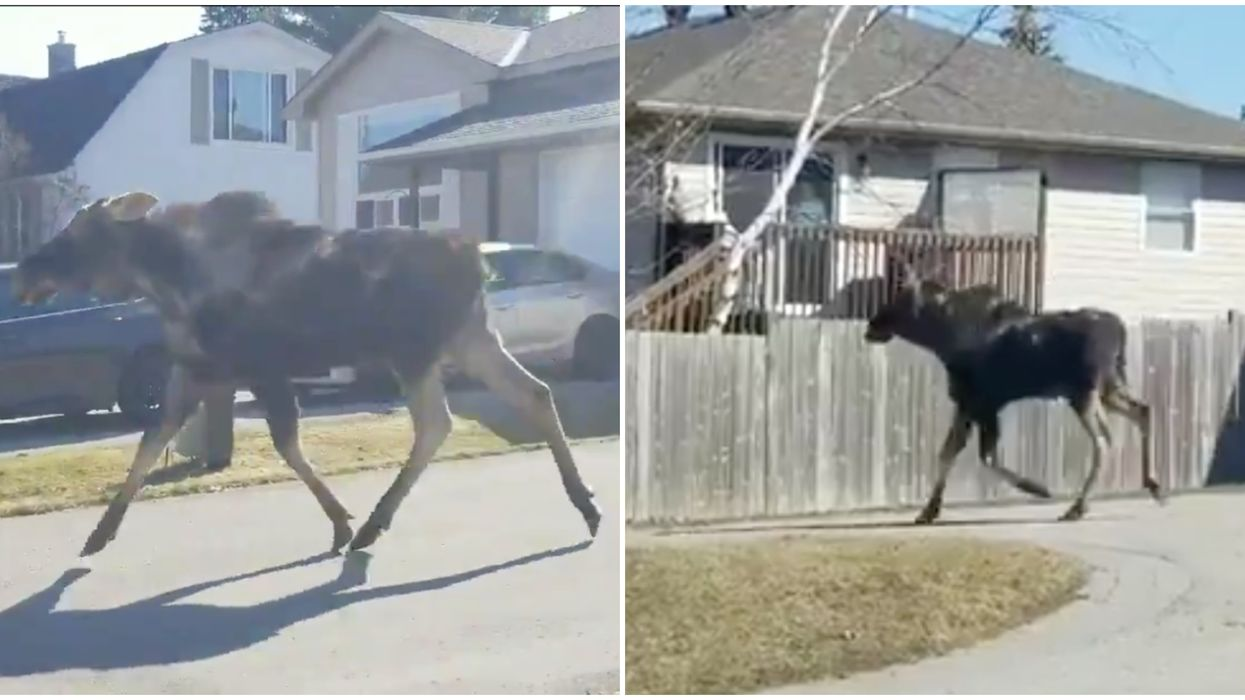 A Moose Loose In Orillia Has Been Hitting Up The Town For 3 Days Now