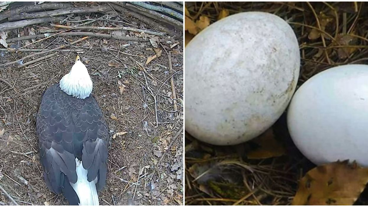 Dollywood In Tennessee Is Expecting Two Bald Eagle's To Hatch Soon