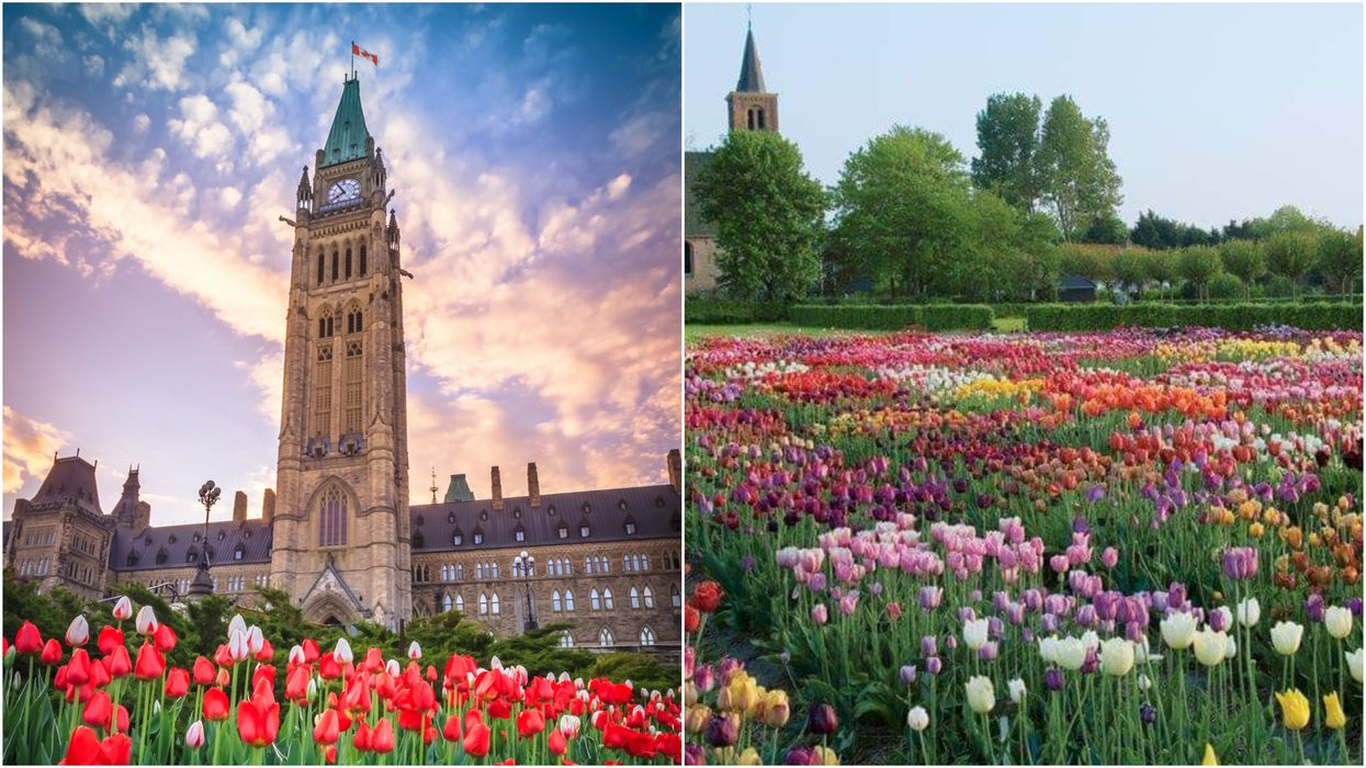 Ottawa's Tulip Festival Is Cancelled But 1 Million Flowers Have Still Been Planted