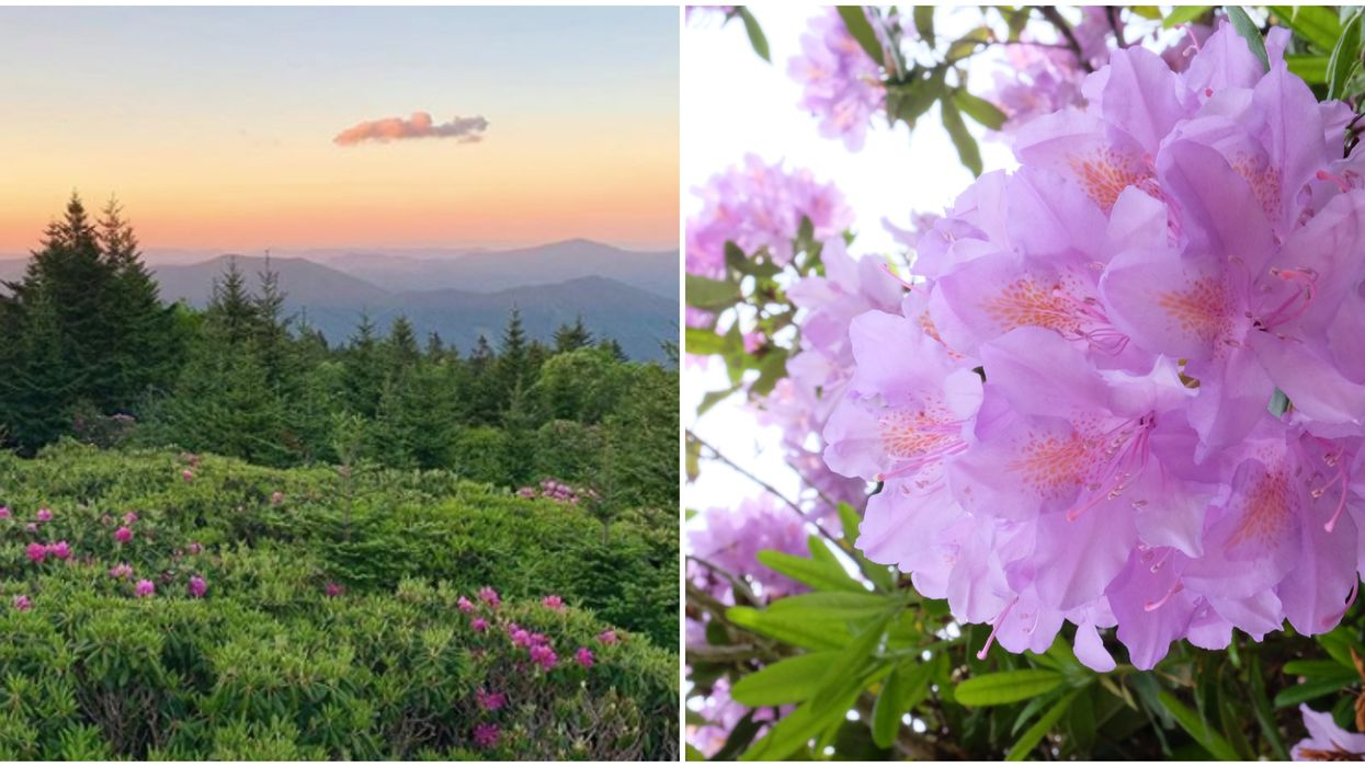 State Park In Tennessee Will Have Hundreds Of Rhododendron Flowers This Summer