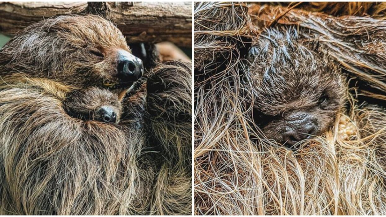 Virginia Zoo Is Letting Virginians Name The Brand New Baby Sloth