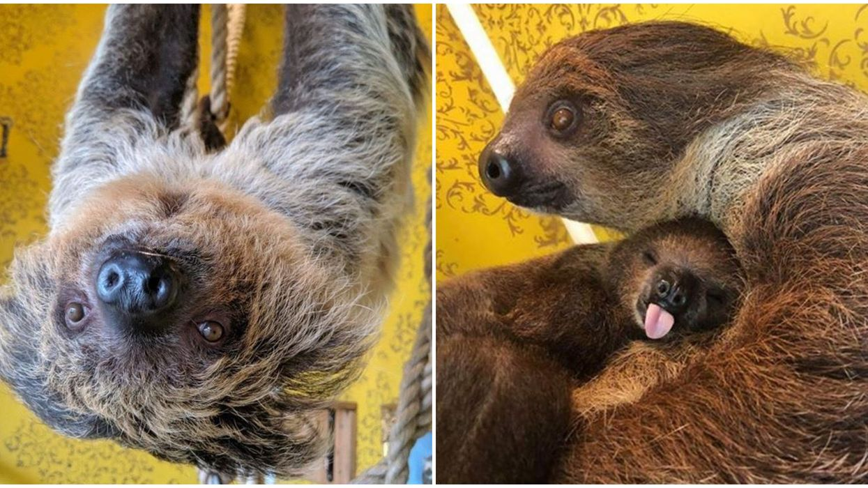 Hattiesburg Zoo in Mississippi Lets You Hang Out With Baby Sloths On Live Cam