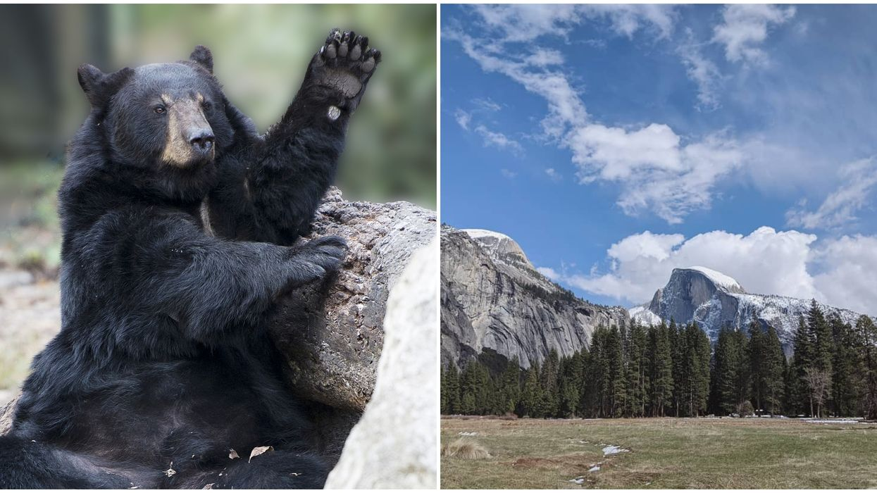 The Bears In Yosemite Are 'Partying' Now That Tourists Are Gone