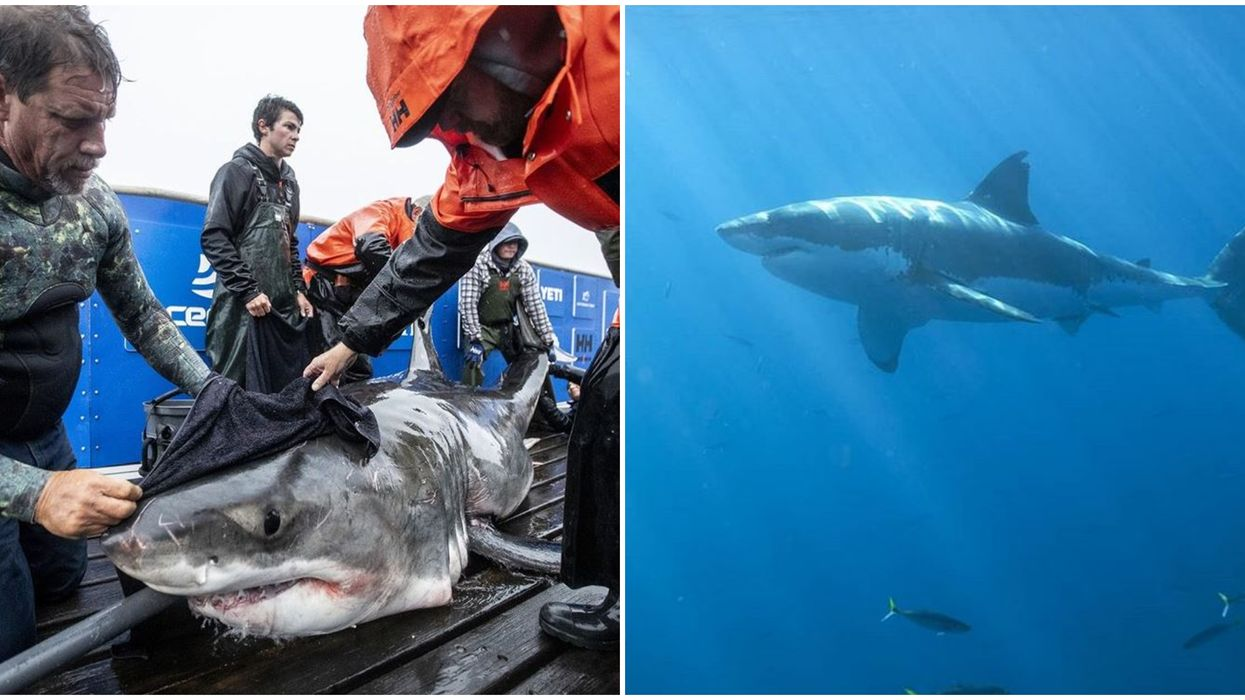 Ocearch Shark Researchers Seek To Prevent Fish Shortages By Solving White Shark Puzzle