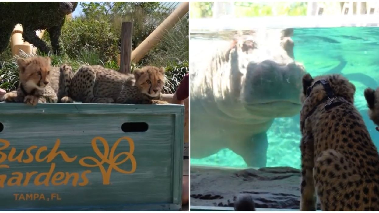 Busch Gardens In Tampa Bay Takes Their Cheetah Cubs To Explore The Zoo (VIDEOS)