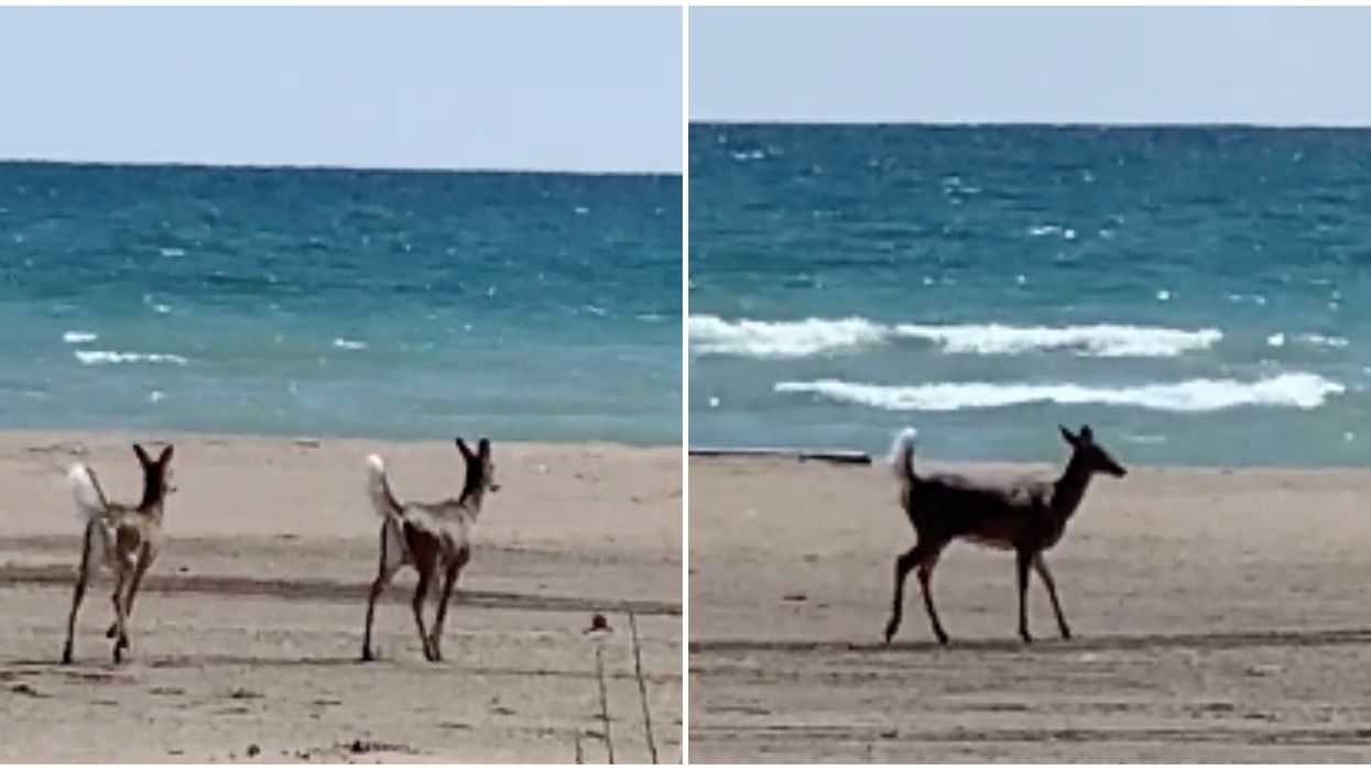 Toronto's Deer Population Is Taking Over Beaches & Back Yards As Humans Stay Indoors