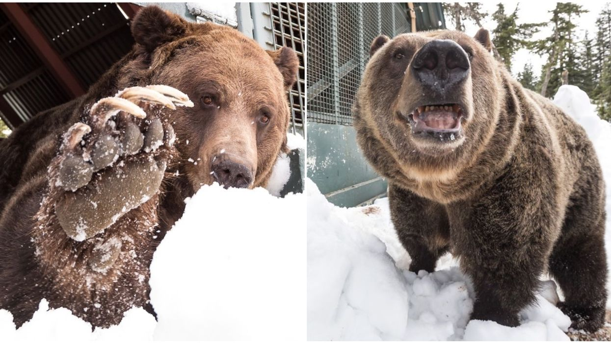 Grouse Mountain Grizzly Bears Are Awake & Ready To Eat 20k Calories A Day