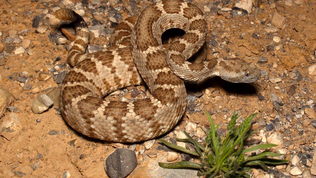 Arizona's Rattlesnakes Are Starting To Make Their Way Out Of Hibernation (PHOTOS)