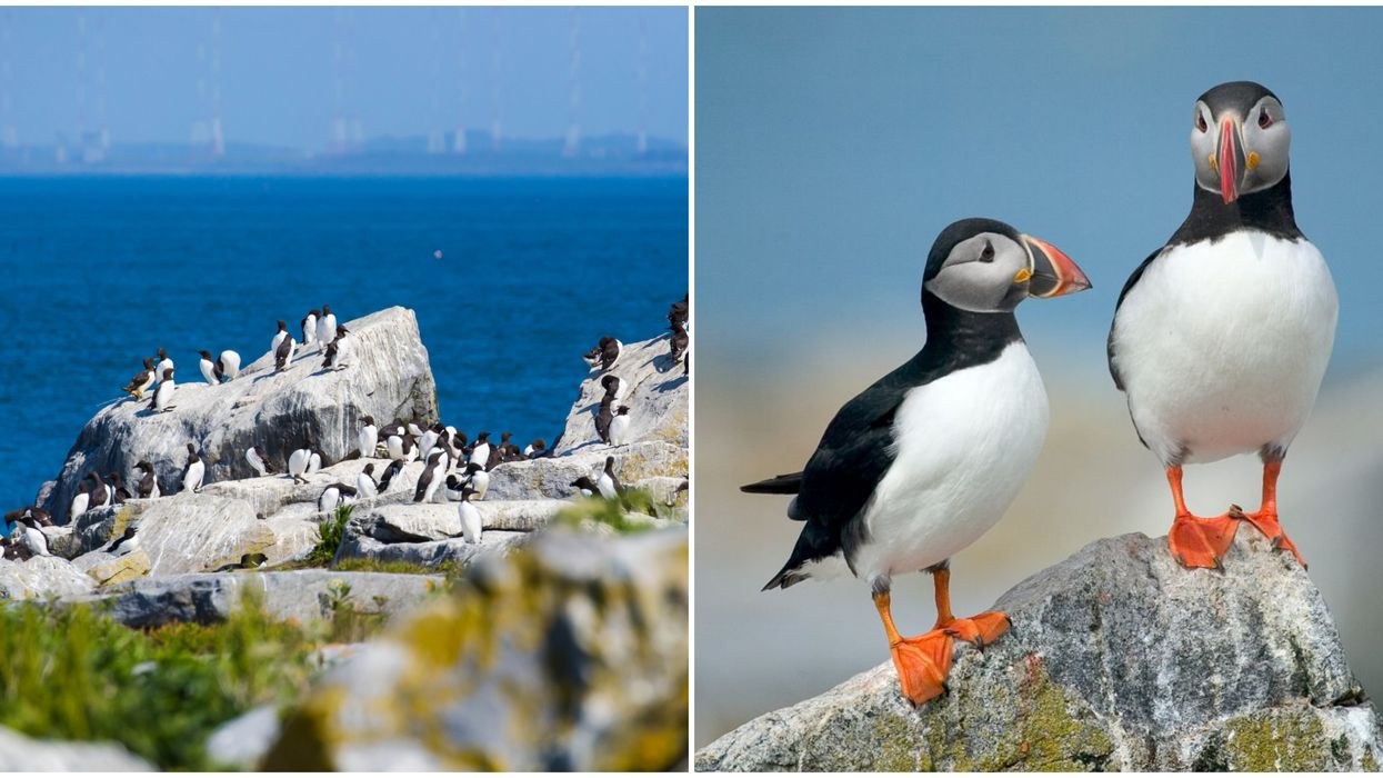 Machias Seal Island Is A Remote Spot Home To Thousands Of Atlantic Puffins