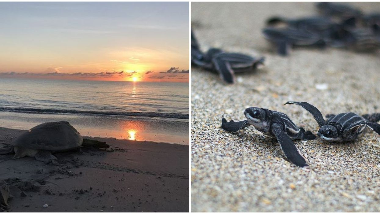 Sea Turtle Nesting Season In Florida Doubled Numbers May See Impacts Post Beach Reopening