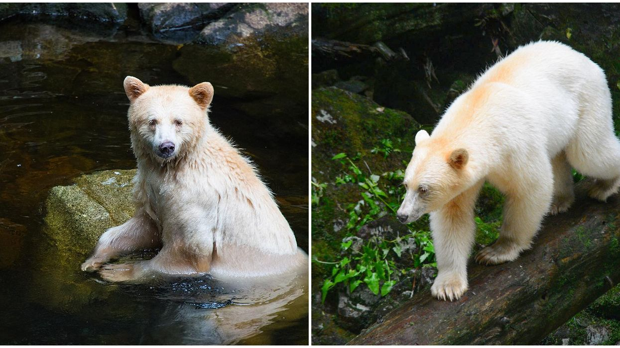 'Spirit Bears' In BC's Forests Look Like They're Straight Out Of A Fantasy World