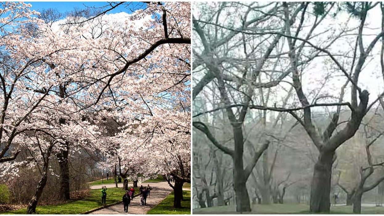 High Park Cherry Blossom Cam Is Live For Torontonians To View But Not Much Is Blooming