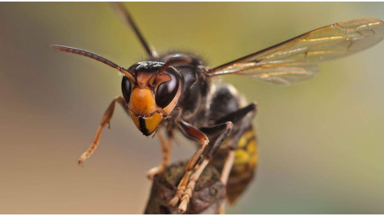 Asian Giant Hornets Have Already Been Spotted 4 Times In Washington (PHOTOS)