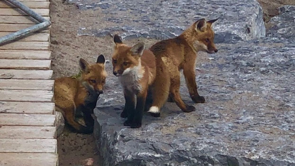 The Toronto Fox Family On Woodbine Beach Has Had To Be Fenced Off Again For Safety