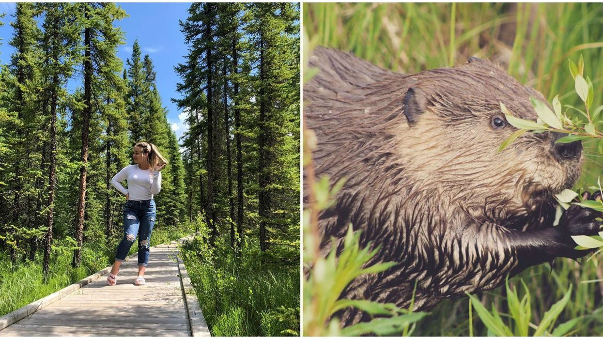 Boardwalk In Alberta: This 3 km Trail Lets You Get Up Close With Beavers (VIDEO)