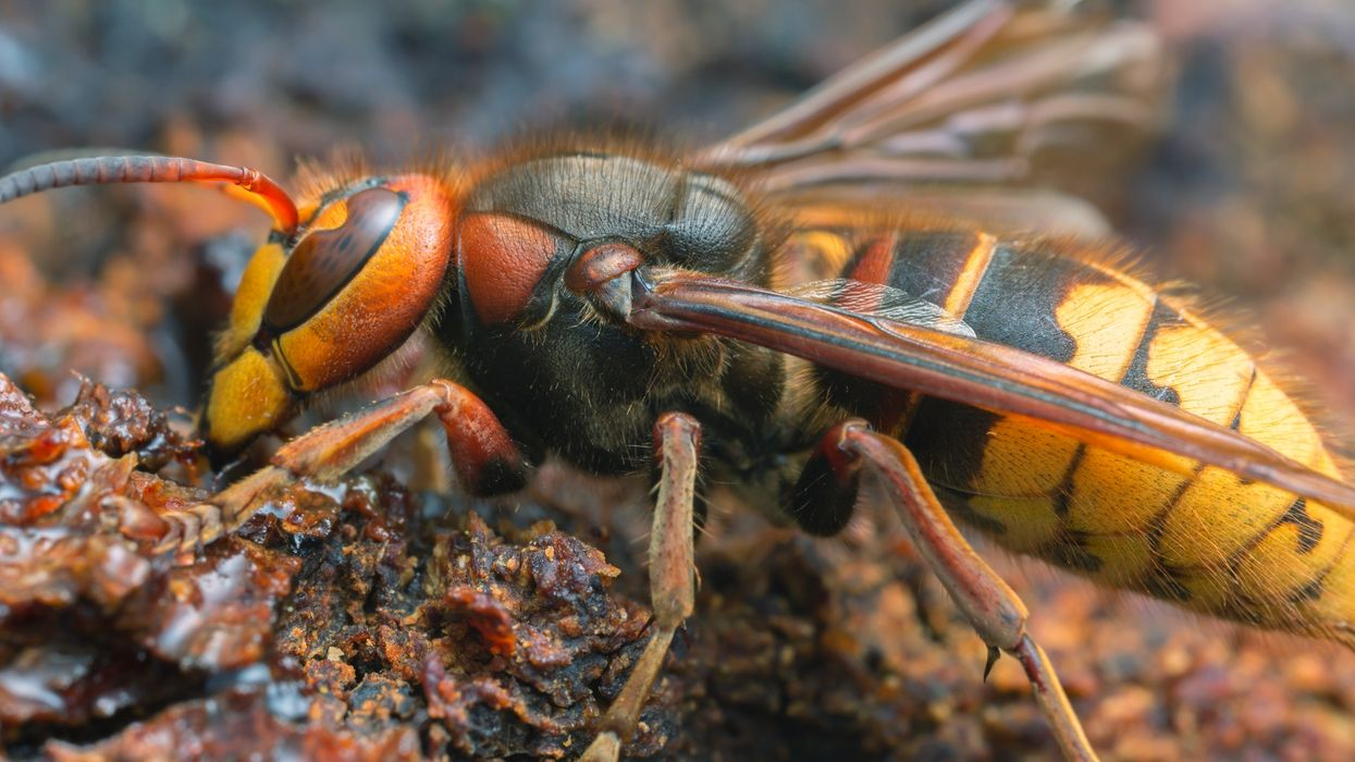Texas Is Ready To Stop 'Murder Hornets' With Its Own Special Task Force
