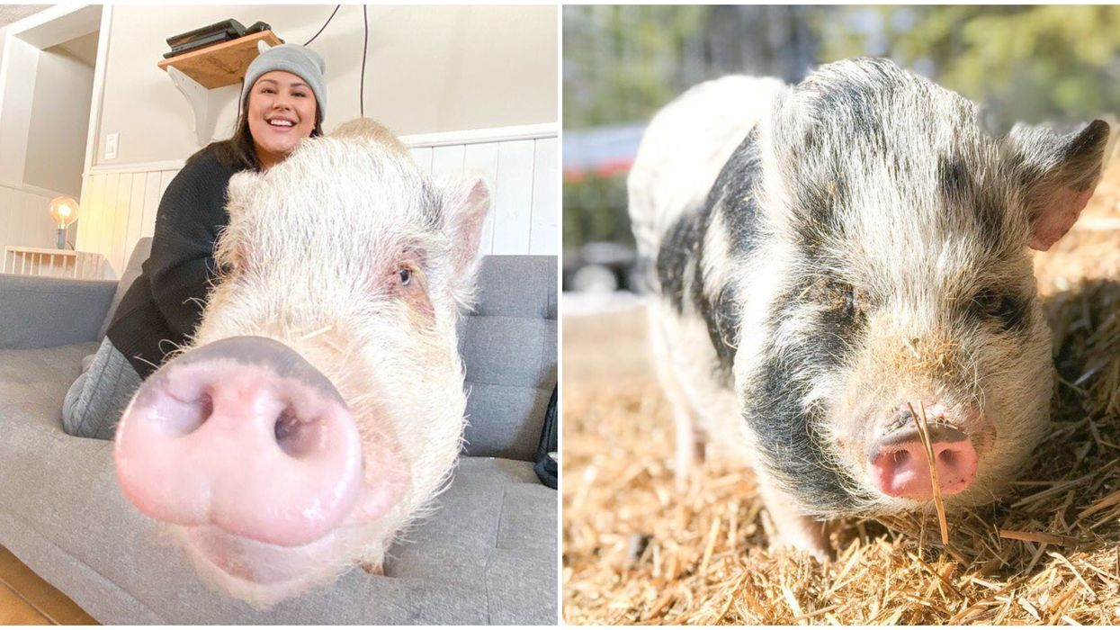 An Ontario Pig Rescue Experience Lets You Sip Coffee With Adorable Pot-Bellied Pigs
